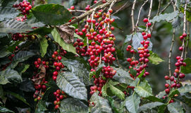 Wachsende Kaffeekirschen Lizenzfreie Stockfotos
