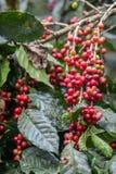Wachsende Kaffeekirschen Stockbilder
