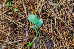 Wachsende kleine Grünpflanze im Garten Stockbild