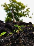 Wachsende kleine Jungpflanze im schwarzen Boden Lizenzfreie Stockfotografie