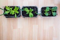 Wachsende Kräuter und Gemüse zu Hause Lizenzfreies Stockbild