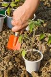 Wachsende Nahrung - Pflanzen der Sämlinge lizenzfreie stockfotos