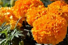 Wachsende orange Gartennelkenblumen Stockfotografie