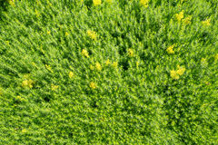 Wachsende organische Frühlingszwiebeln stockbild