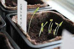 Wachsende organische selbstgezogene frische Kräuter stockbild