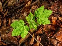Wachsende Platane am Laub des Waldes im Morgenlicht Lizenzfreie Stockfotos