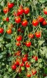 Wachsende rote Tomaten Stockfotos