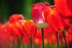 Wachsende rote Tulpen mit bokeh Stockfotografie