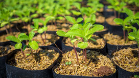 Wachsende Sonnenblumensprösslinge Lizenzfreie Stockfotos
