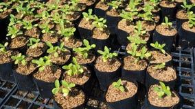 Wachsende Sonnenblumensprösslinge Lizenzfreie Stockfotografie