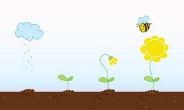 Wachsende Stufen der Blume Lizenzfreie Stockfotos
