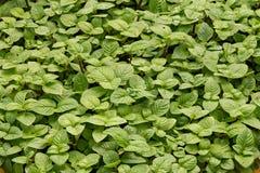 Wachsende tadellose Blätter stockfotos