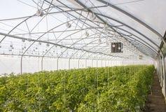 Wachsende Tomate auf einer industriellen Ebene Lizenzfreie Stockfotografie
