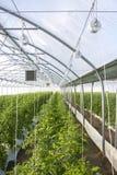 Wachsende Tomate auf einer industriellen Ebene Lizenzfreies Stockbild