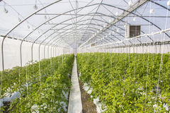 Wachsende Tomate auf einer industriellen Ebene Stockbilder