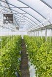 Wachsende Tomate auf einer industriellen Ebene Lizenzfreies Stockfoto