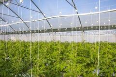 Wachsende Tomate auf einer industriellen Ebene Stockbild