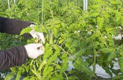 Wachsende Tomate auf einer industriellen Ebene Stockfotografie
