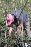 Wachsende Tomaten Lizenzfreies Stockfoto