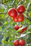 Wachsende Tomaten lizenzfreie stockfotos