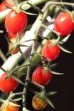 Wachsende Tomaten angeschmiegt auf der Rebe Stockbild