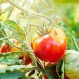 Wachsende Tomaten auf einer Niederlassung Reife rote Tomaten kultiviert im Garten Abschluss oben Bauernhof-Naturszene stockfotos