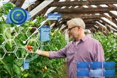 Wachsende Tomaten des älteren Mannes am Bauernhofgewächshaus Stockbild