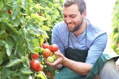 Wachsende Tomaten des glücklichen Landwirts in einem Gewächshaus lizenzfreie stockbilder