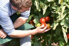 Wachsende Tomaten des glücklichen Landwirts in einem Gewächshaus stockfoto