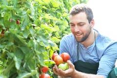 Wachsende Tomaten des glücklichen Landwirts in einem Gewächshaus lizenzfreie stockfotografie