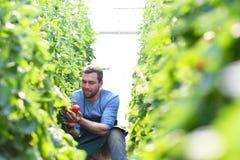 Wachsende Tomaten des glücklichen Landwirts in einem Gewächshaus lizenzfreies stockbild