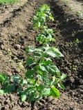 Wachsende Tomaten im Gartenbett Lizenzfreie Stockbilder