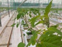 Wachsende tomatoe Anlagen in der Landwirtschaft Lizenzfreie Stockfotos