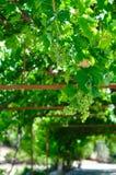 Wachsende Trauben Stockfoto