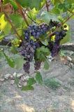 Wachsende Trauben für Chianti Toskana Italien lizenzfreie stockbilder