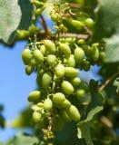 Wachsende Traubennahaufnahme in der Natur Stockfoto