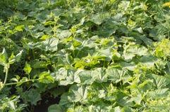Wachsende Trieb und Gurkenoberteile im Garten, wachsendes biologisches Lebensmittel Stockbilder