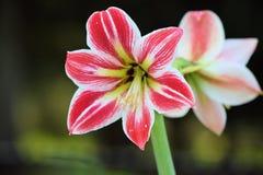Wachsende und blühende Lilie zwei Lizenzfreies Stockfoto
