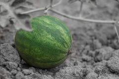 Wachsende Wassermelone klein Stockbild