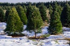 Wachsende Weihnachtsbäume Stockfotos