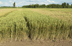Wachsende Weizenfelder mit verschiedener Art und Farben Stockfotos