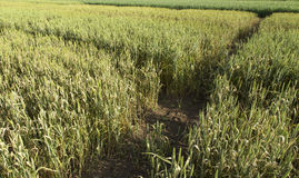 Wachsende Weizenfelder mit verschiedener Art und Farben Lizenzfreie Stockfotografie