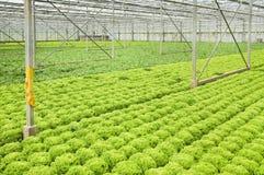 Wachsende Winterendivien- und Salatanlagen stockfotografie