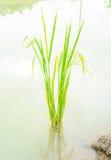 Wachsender asiatischer Reis, Babyreis auf archiviert Lizenzfreie Stockfotos