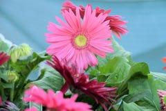 Wachsender blauer Hintergrund des rosa Gerberagänseblümchens Lizenzfreies Stockbild