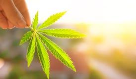 Wachsender erstklassiger schöner Marihuana-Hanf für Produktions-Hanf-Öl-Auszüge stockbilder