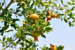 Wachsender Granatapfel auf einem Hintergrund des Blattgranatsbaums und -th Stockbild