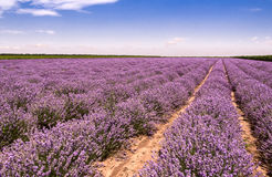 Wachsender Lavendel in Bulgarien Stockfotos