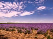 Wachsender Lavendel in Bulgarien Lizenzfreie Stockfotos