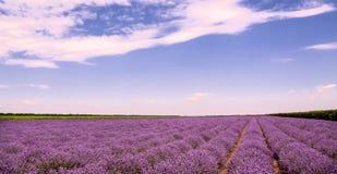 Wachsender Lavendel in Bulgarien Stockfotografie